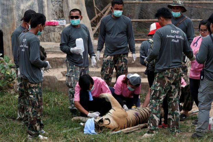 thailand-tiger-temple-crackdown-may-30-2016-kanchanaburi-province