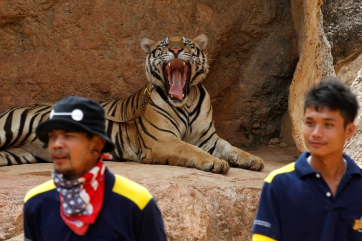 thailand-tiger-temple-crackdown-may-30-2016