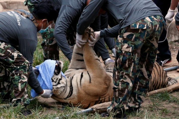 thailand-tiger-temple-crackdown-sedated-big-cat-may-30-2016