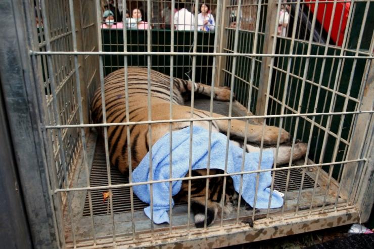 thailand-tiger-temple-relocation-near-bangkok-may-30-2016