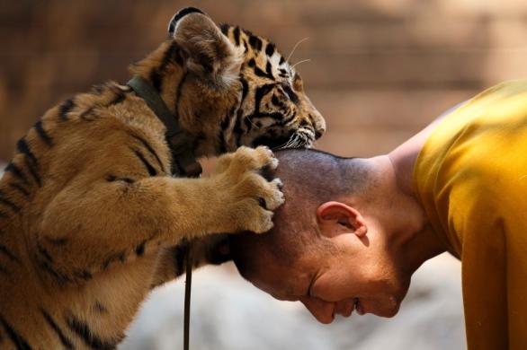 thailand-tiger-temple-run-by-buddhist-monks-feb-2015