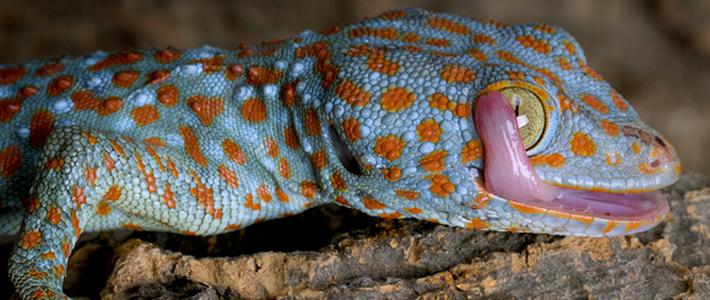 reptile-tokay-710x300