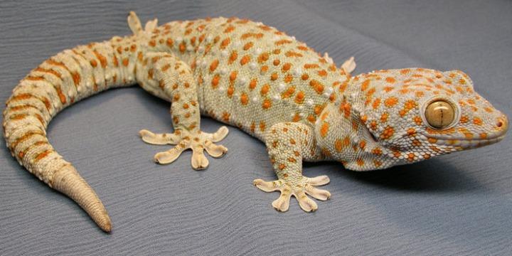 tockay_gecko_01L